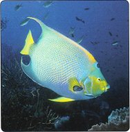Poisson ange royal adulte