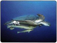 """Exemple pris dans notre """"guide des poissons coralliens"""" avec une tortue. En échange, il la débarasse de ses parasites externes."""