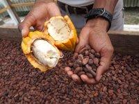 Fèves de cacao : fraiche/séchées