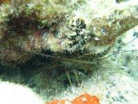 Langouste cachée sous un rocher, elle tend ses antennes vers l'objectif