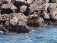Sur le rocher de gauche, un iguane marin
