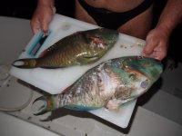Deux beaux poissons perroquets