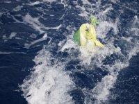 Dorade coryphène – jaune flash dans l'eau