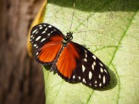 Papillon Tiger Longwing