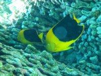 Belle prise de vue de Bruno : 2 magnifiques poissons-ange tricolores (ou Anges des Caraïbes)