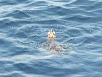 Une tortue pointe le bout de son nez, à coté de Coco d'îles
