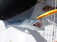 Un barracuda !