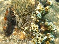 Corail feu (collé au corail cerveau) : qui s'y frotte, s'y brule !