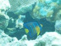 Ce petit poisson-ange royal perdra ses rayures en grandissant et ses écailles se teinteront toutes de jaune et de bleu...