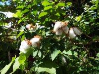 Fleur de coton