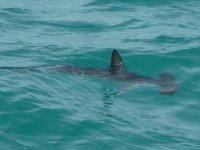 Ce jeune requin marteau, rôde seul, l'air perdu...