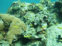 Poisson-ange des Caraïbes (ou tricolore) juvénile
