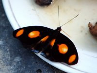 Papillon Spotted Velvet