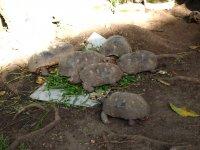 Ce ne sont pas de gros cailloux mais des tortues de terre