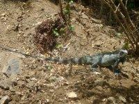 Iguane - Visez un peu la longueur de sa queue !