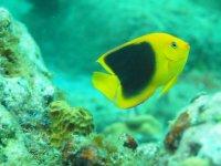 Le même un peu plus grand. Ce poisson nait tout jaune avec seulement une petite tache noire qui grandit avec la croissance jusqu'à envahir la plus grande partie de son corps à l'age adulte.