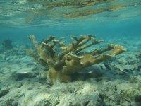 Acropore Bois d'élan (corail branche)