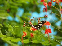 Papillon Zebra Longwing