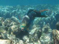 La dentition du poisson perroquet (qui lui vaut son nom), lui permet de manger le corail