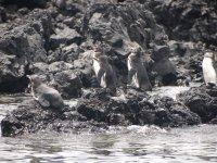 Des manchots (à ne pas confondre avec les pingouins qui, eux, vivent dans l'hémisphère nord)