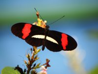 Papillon Red Postman