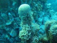 Une Demoiselle qui se cache derrière un corail étoilé