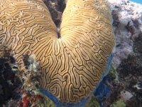 Corail cerveau labyrinthe