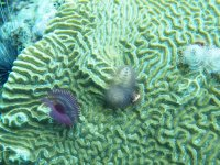 """Le drôle de """"faux-cils"""" violet, accroché à ce corail-cerveau, ne fait que 5 cm et est en fait un ver... tubicole fendu pour être précis."""