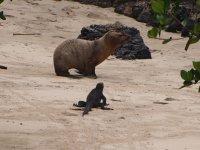 Un iguane de Galàpagos devant une otarie