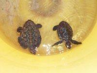 Bébés tortues recueillis pour les aider à grandir sans danger avec d'être relachées dans la mer