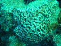 Méandrine (corail-cerveau)
