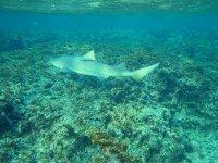 Petit requin citron d'environ 1 m 50